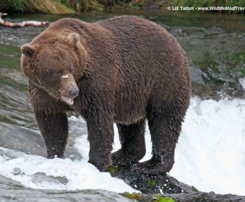 Brown Bear - Brooks Falls, Alaska